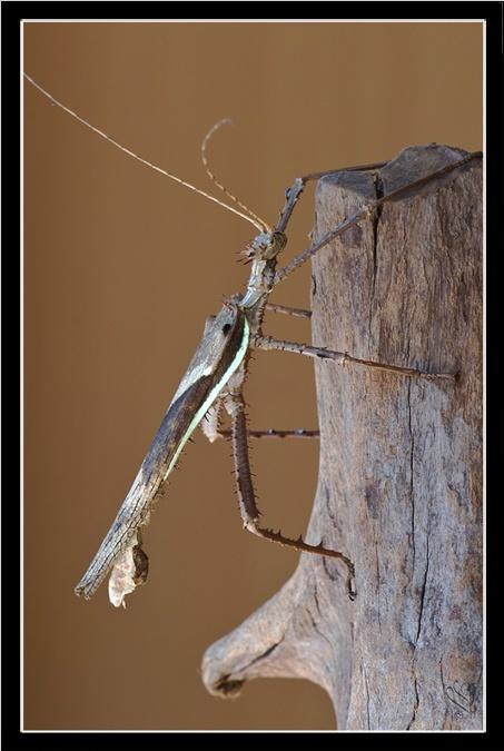 Heteropteryx dilatata (PSG 018) Hd_m_a12