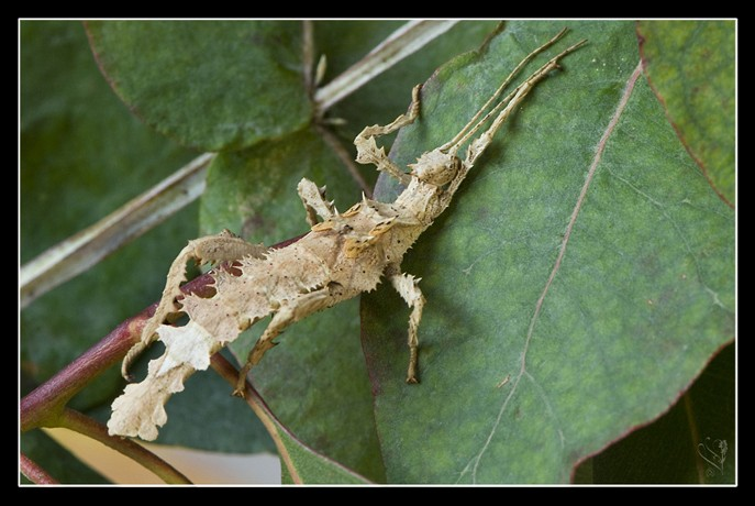 Heteropteryx dilatata (PSG 018) Hd_ml410