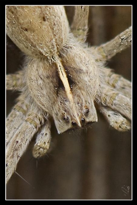 [Pisaura mirabilis] et [lycosidae] Image_63