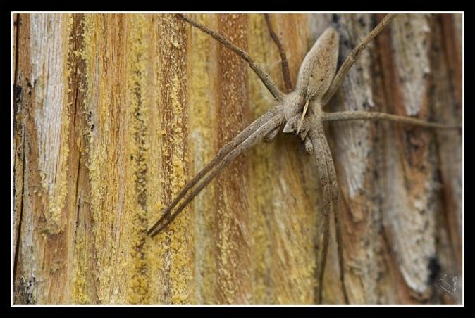 [Pisaura mirabilis] et [lycosidae] Image_65