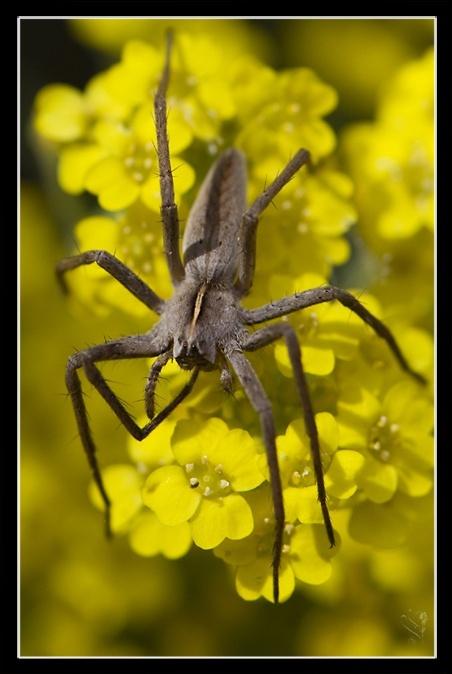 [Pisaura mirabilis] et [lycosidae] Image_66