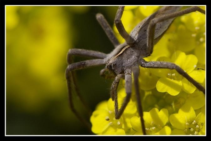 [Pisaura mirabilis] et [lycosidae] Image_67