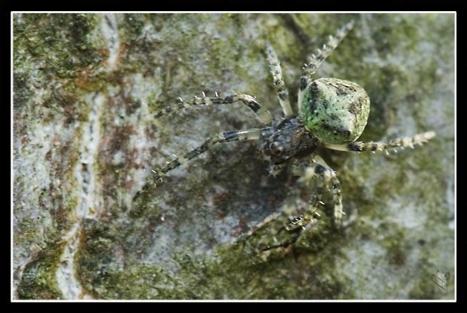 [A identifier] arachnide lichen Image_68