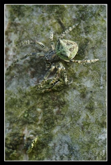 [A identifier] arachnide lichen Image_69