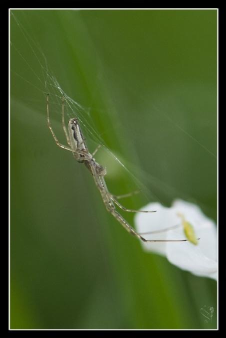 [A identifier] arachnide (Tetragnatha) Image_70