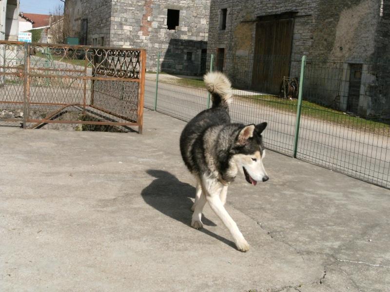 Wisky, male husky 8 ans 15030912