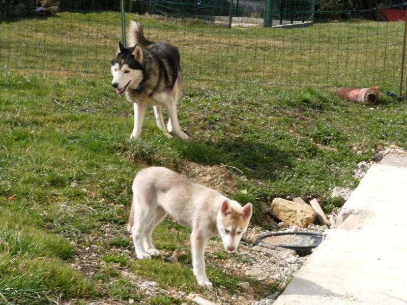 Wisky, male husky 8 ans 15030915