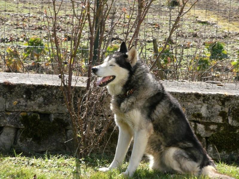 Wisky, male husky 8 ans 15030917