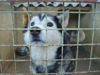 Wisky, male husky 8 ans Dsc01510