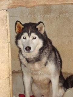 Wisky, male husky 8 ans Dsc01511