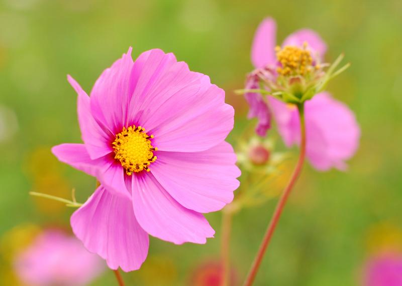 Une petite fleur rose au 50 mm Dsc_6610