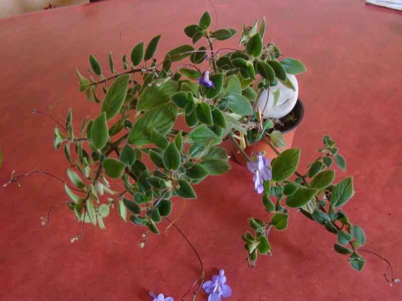 Streptocarpus caulescens Dsc09441