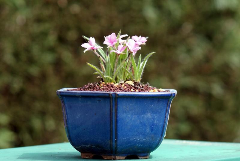 Voici mes plantes d'accompagnements Dsc01410