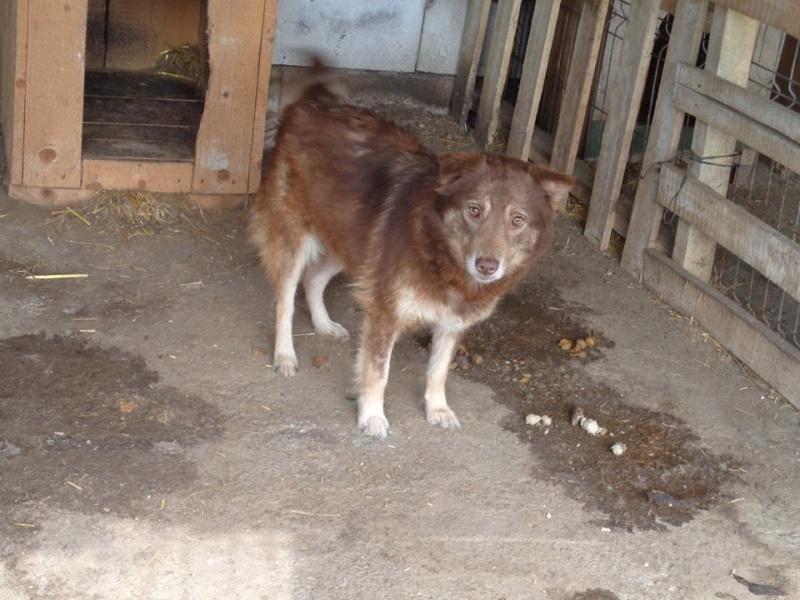 LAORA, femelle rescapée d'Oltenita du 30 avril 2015, née fin 2013, marron roux - marrainée par lilirez2 - SOS-R-SC 13043810