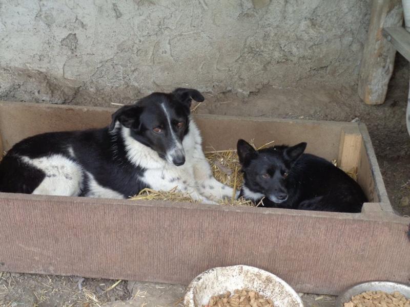GAYA- femelle noire et blanche née en 2013- parrainée par Skara - SC-SOS-R- - Page 3 13055511