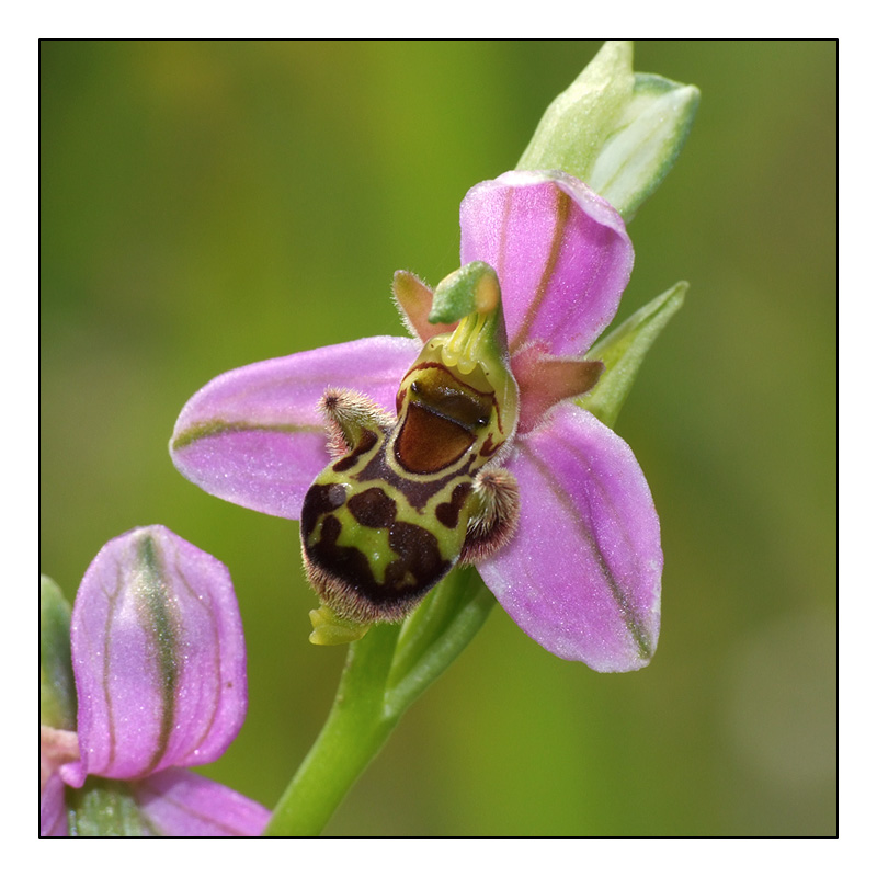 Ophrys apifera x picta Ophrys10