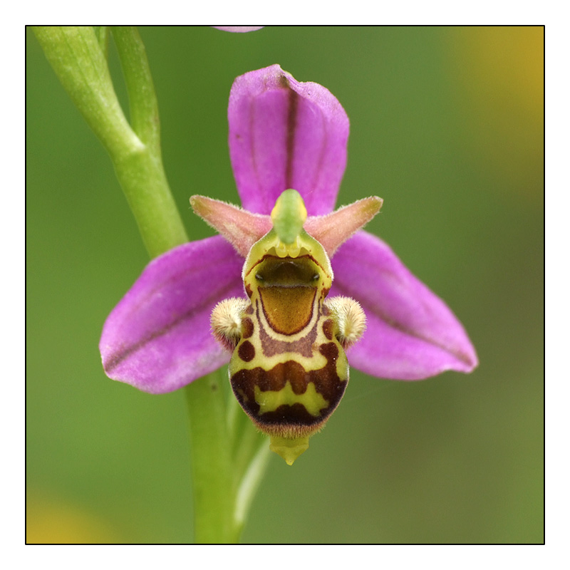 Ophrys apifera x picta Ophrys11