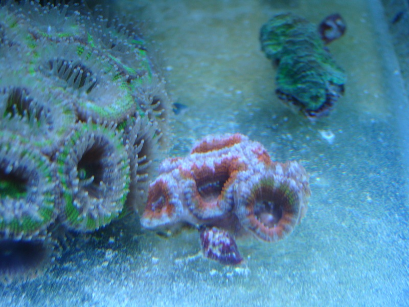 vos plus vieux coraux Dsc02211