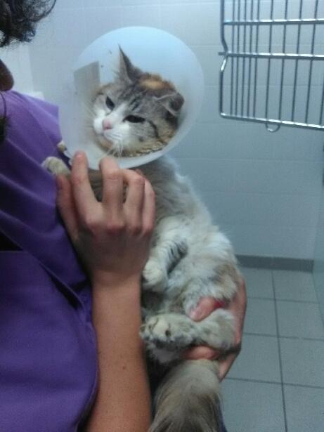 Sauvetage : 2 chats cherchent un gentil foyer  -  Clinique vétérinaire du Golfe  Minett10