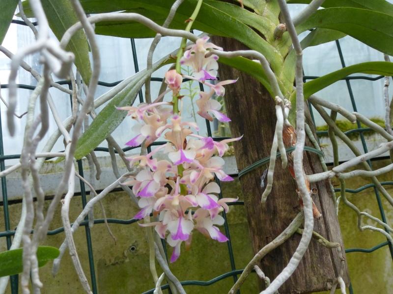 Quelques orchidées de Chèvreloup le 31  Mars 2016  Aeride10