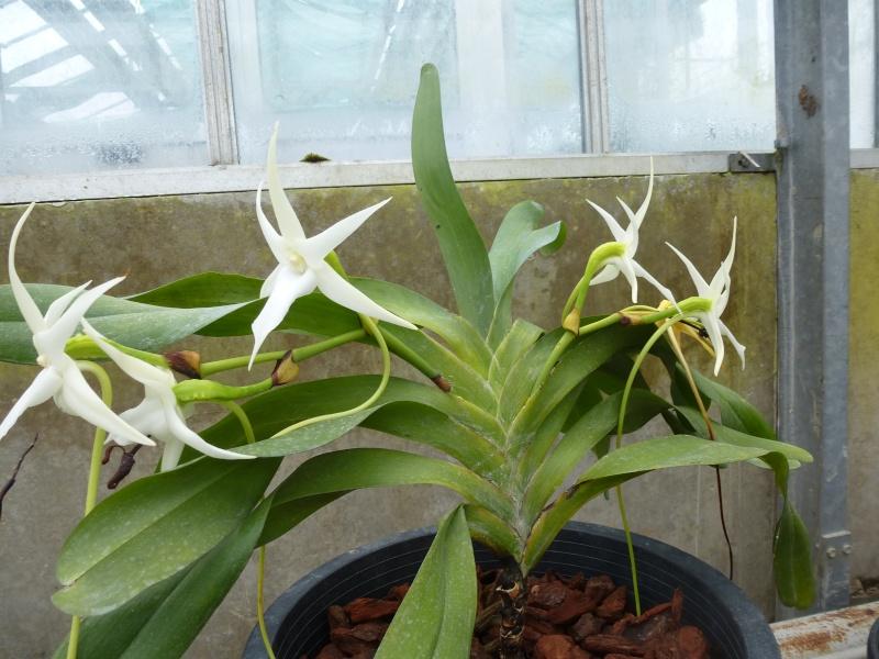 Quelques orchidées de Chèvreloup le 31  Mars 2016  Angrae11