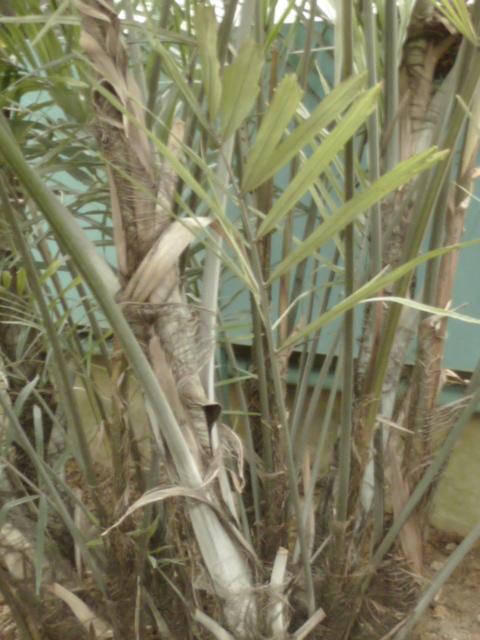 Arenga engleri - palmier de Formose Arenga10