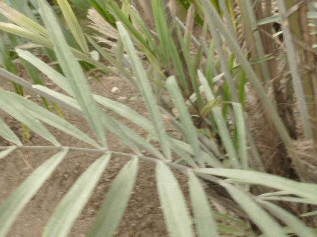 Arenga engleri - palmier de Formose Arenga11