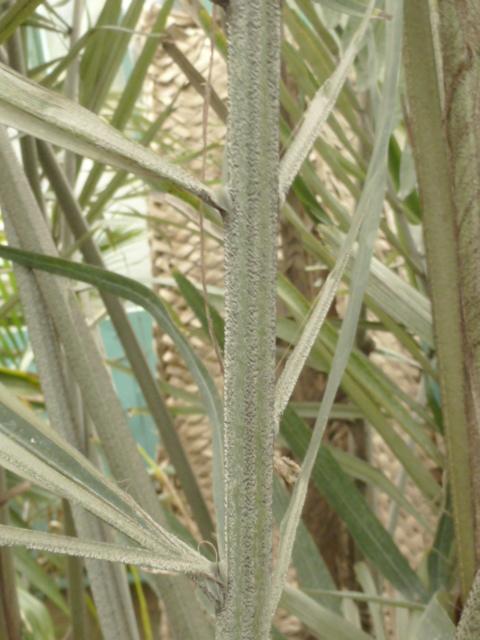 Arenga engleri - palmier de Formose Arenga12