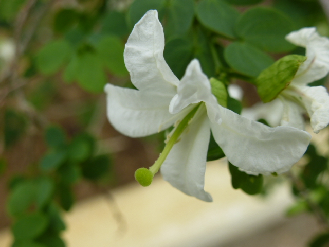 Bauhinia natalensis  Bauhin10