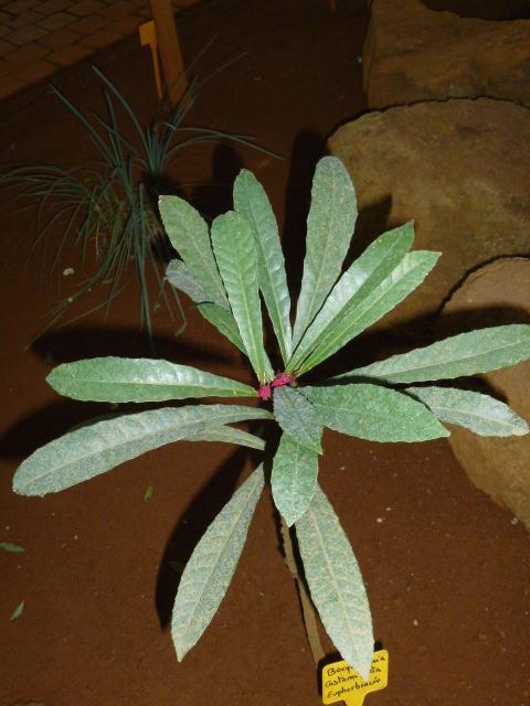 Bocquillonia castaneifolia  Bocqui10