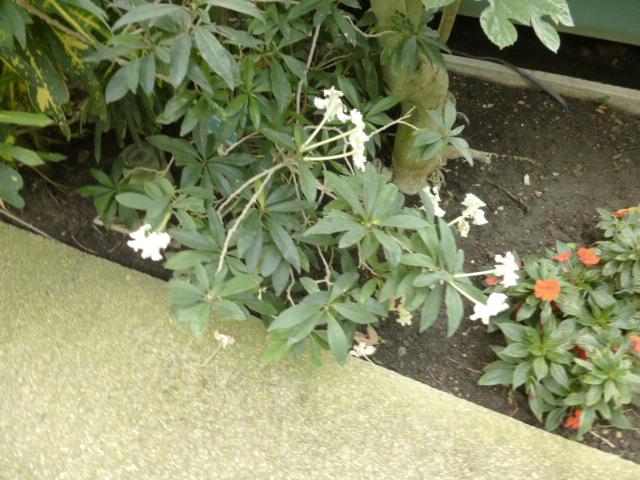 Brunfelsia undulata  Brunfe10