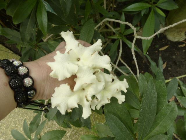 Brunfelsia undulata  Brunfe12