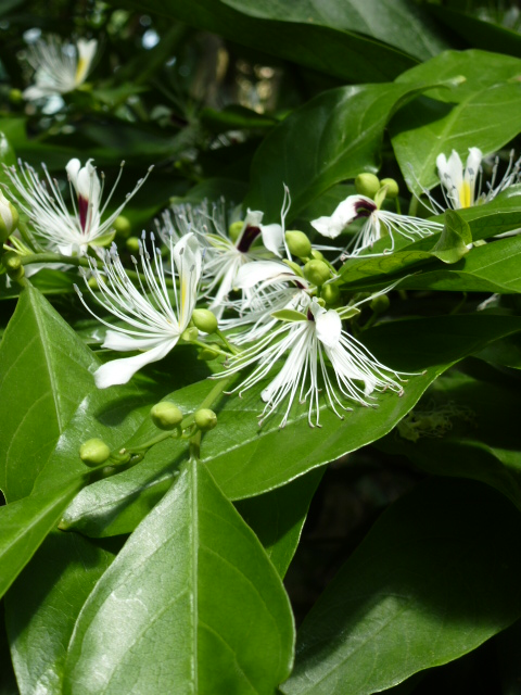 Capparis micracantha (= Capparis forsteniana) Cappar10