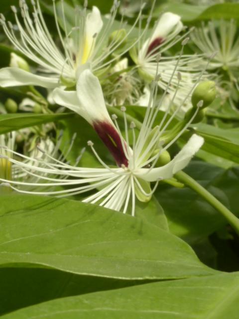 Capparis micracantha (= Capparis forsteniana) Cappar12