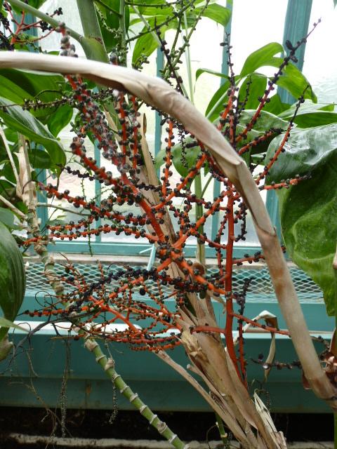 Chamaedorea oblongata  Chamae10