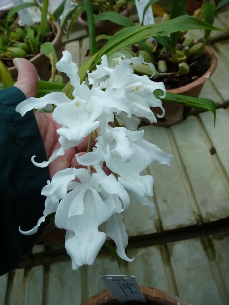 Quelques orchidées de Chèvreloup le 31  Mars 2016  Coelog10