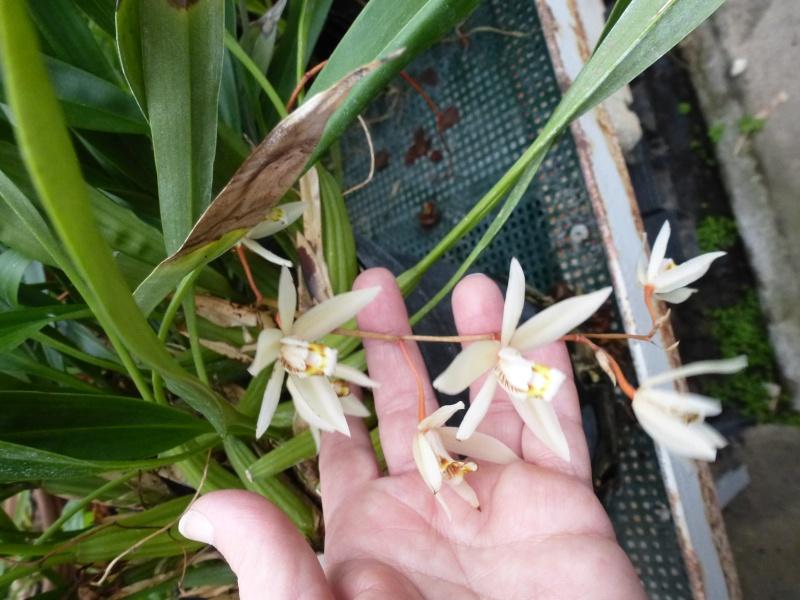 Quelques orchidées de Chèvreloup le 31  Mars 2016  Coelog12