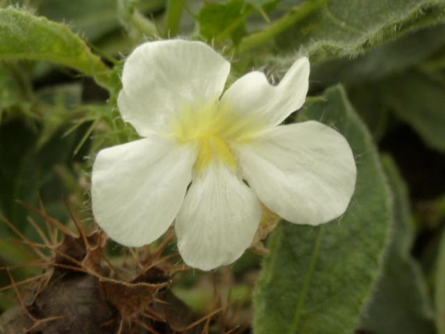 Crabbea velutina (= Crabbea reticulata) Crabbe13