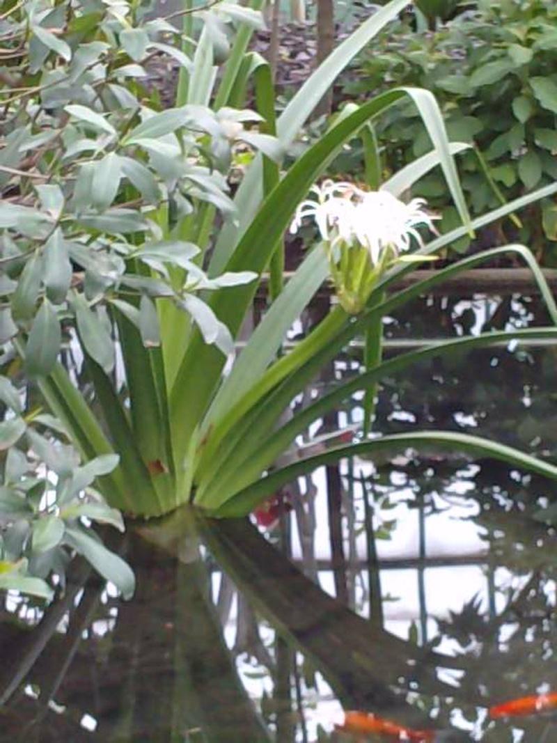 Crinum mauritianum  Crinum10