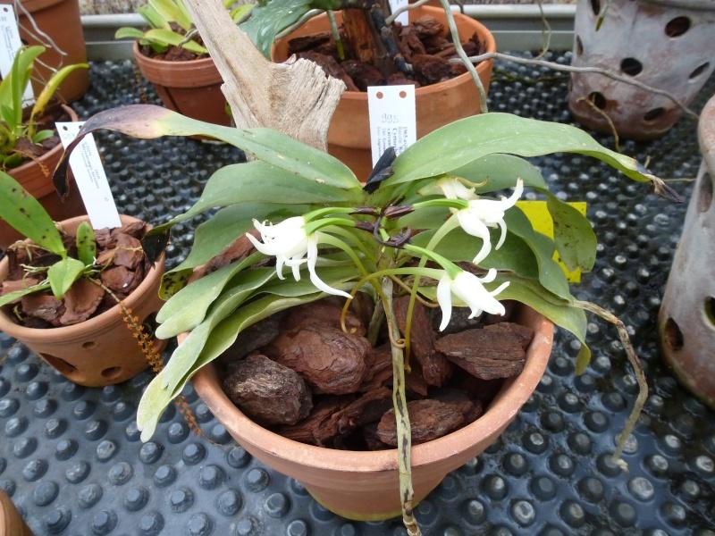 Quelques orchidées de Chèvreloup le 31  Mars 2016  Cyrtor10