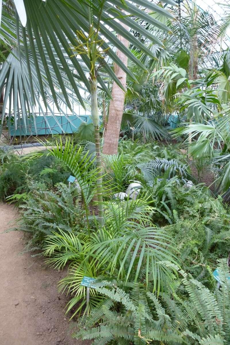 Dypsis lutescens - palmier d'Arec Dypsis14