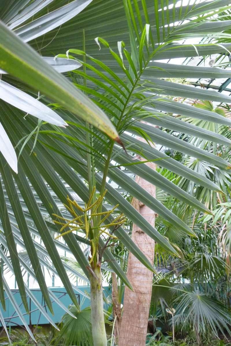 Dypsis lutescens - palmier d'Arec Dypsis15