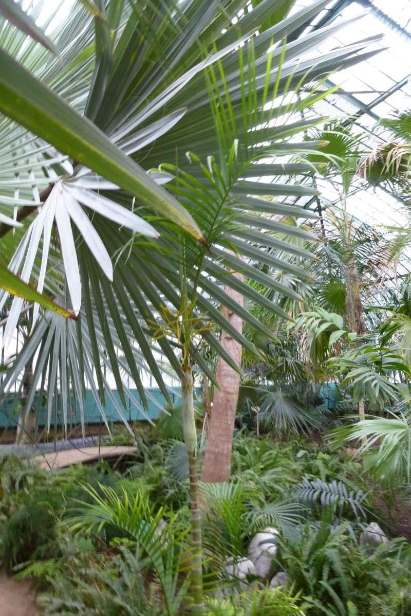 Dypsis lutescens - palmier d'Arec Dypsis16
