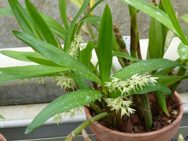 Quelques orchidées de Chèvreloup le 31  Mars 2016  Eria_k10