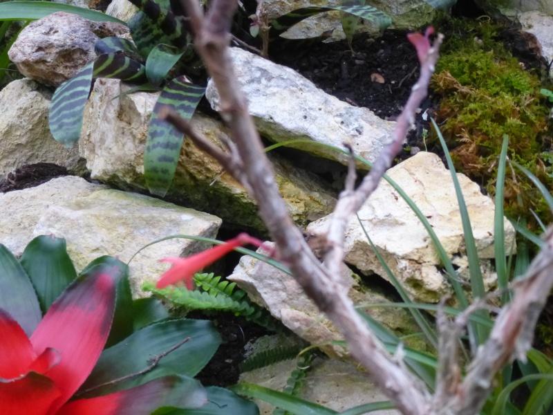 Quelques fuchsias et pélargoniums de Chèvreloup Fuchsi10