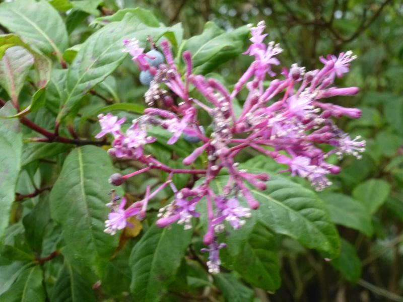 Quelques fuchsias et pélargoniums de Chèvreloup Fuchsi12