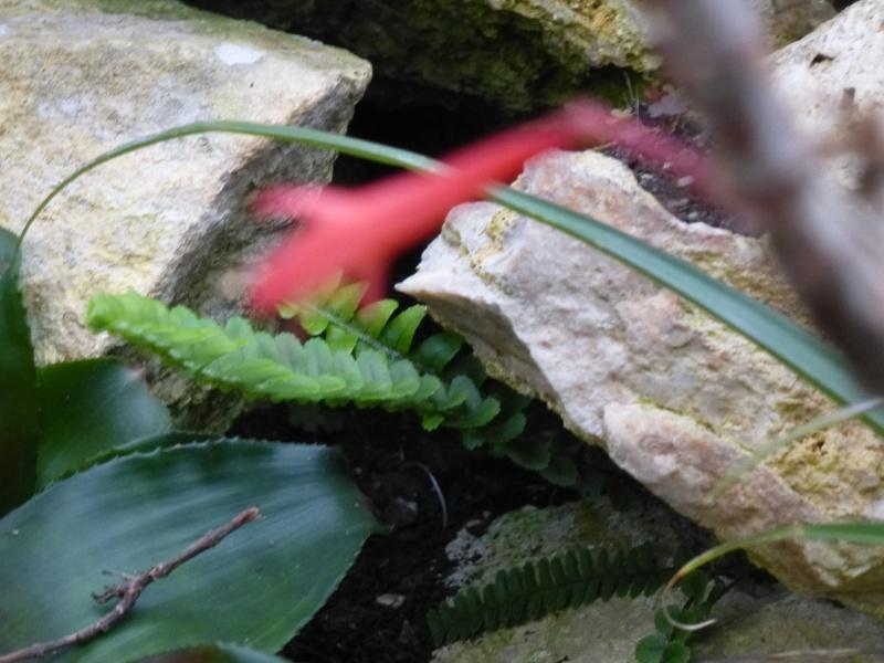 Quelques fuchsias et pélargoniums de Chèvreloup Fuchsi13