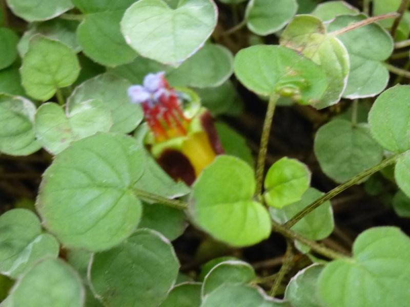 Quelques fuchsias et pélargoniums de Chèvreloup Fuchsi16