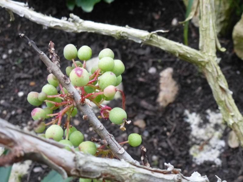 Quelques fuchsias et pélargoniums de Chèvreloup Fuchsi18