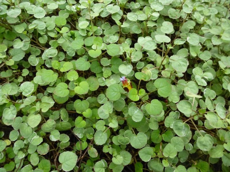Quelques fuchsias et pélargoniums de Chèvreloup Fuchsi20